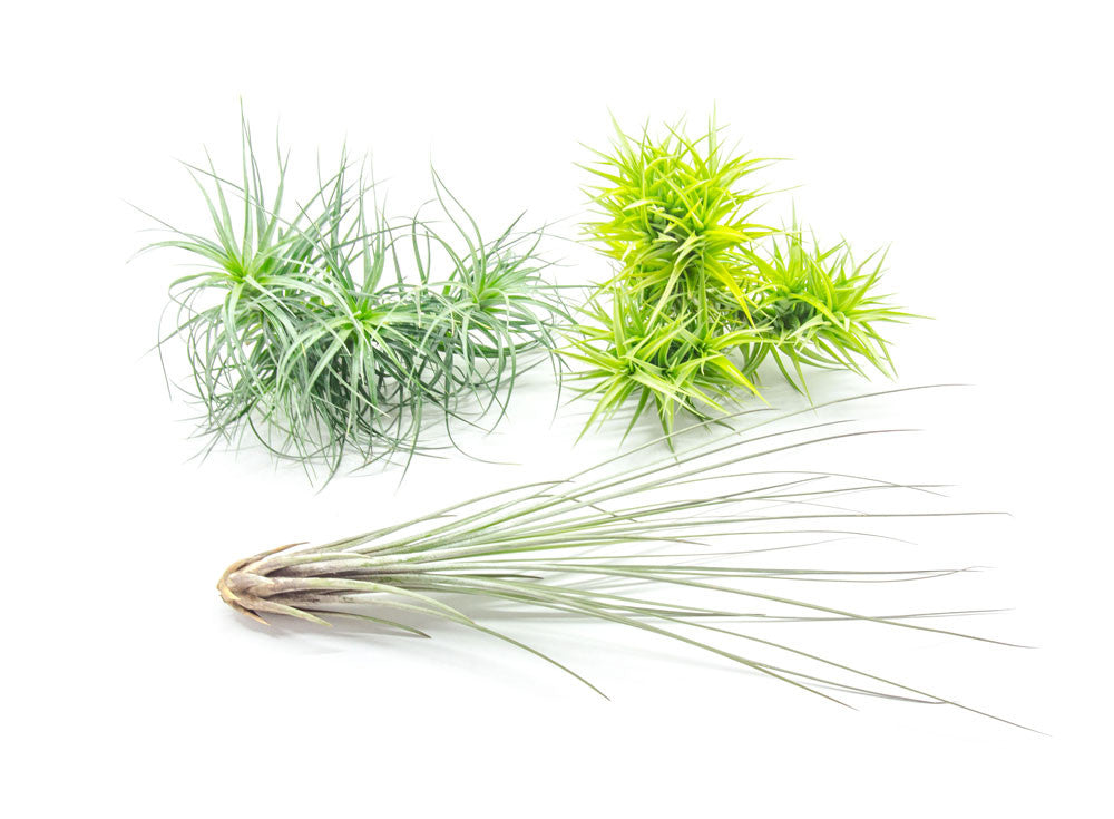 Extra Large Air Plants - Variety Pack