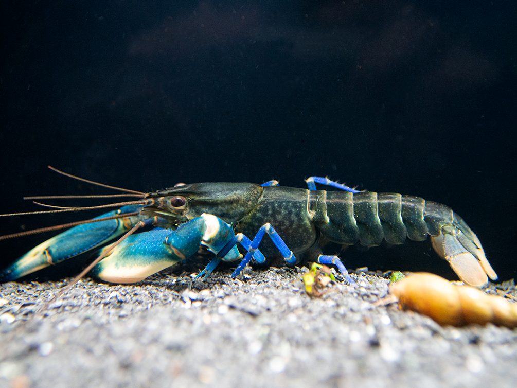 "Yellow Sun AKA Yellow Arm Blue Moon Crayfish (Cherax boesemani ""Yellow Sun"")"
