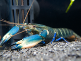 Yellow Sun AKA Yellow Arm Blue Moon Crayfish (Cherax boesemani