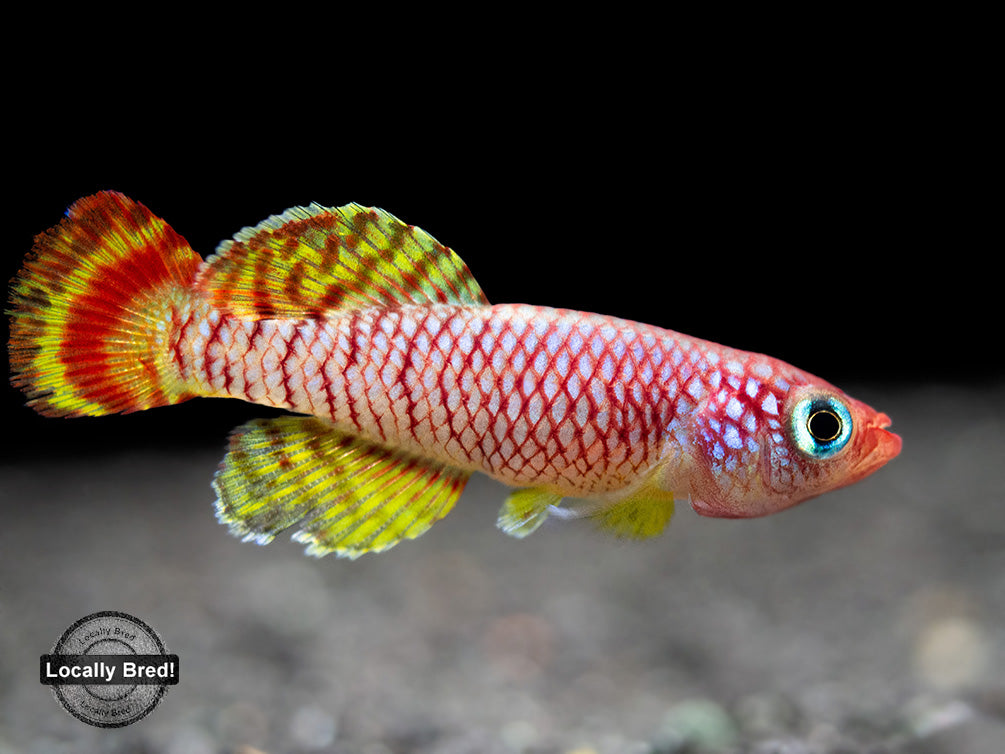 Yellow Korthaus Killifish (Nothobranchius korthausae), Locally Bred!