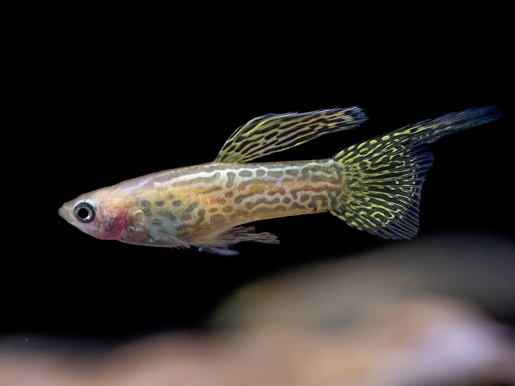 Yellow Top Swordtail Guppy (Poecilia reticulata), Tank-Bred!