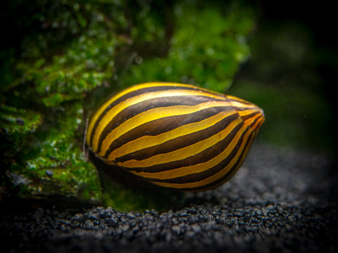 Red Racer and Gold Racer Nerite Snail Combo