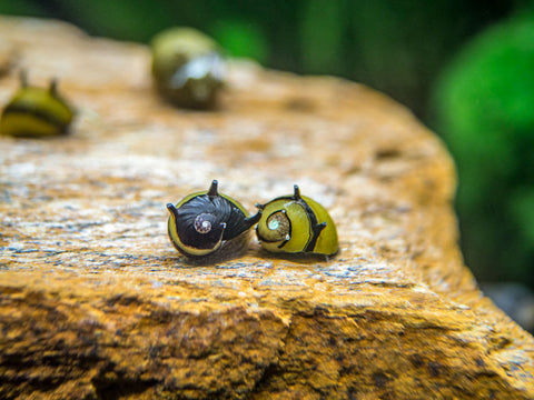 Assorted Chopstick Snail (Stenomelania sp.)