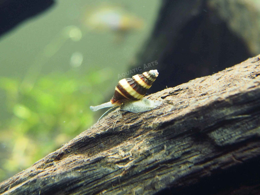 "Assassin Snails (Clea helena) - 1/2"" to 1"""