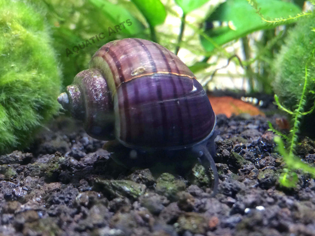 Purple Mystery Snails (Pomacea bridgesii) - Tank-Raised