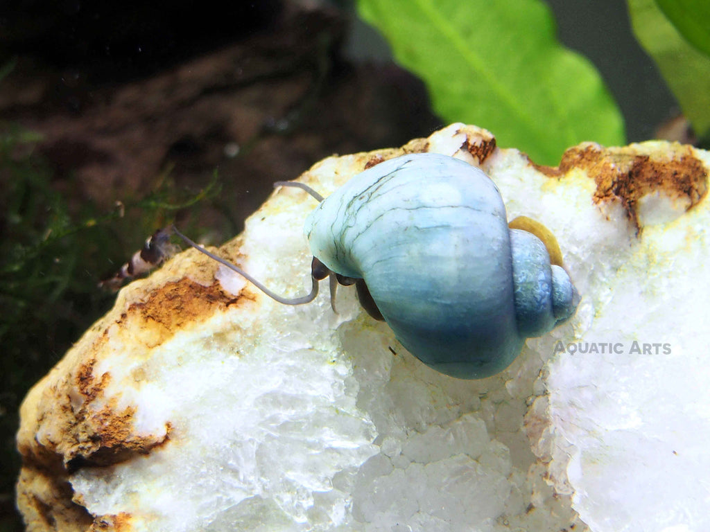 "Blue Mystery Snails (Pomacea bridgesii) - 1/2"" to 2""+"