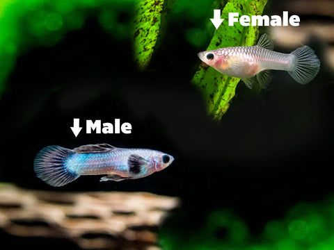 DELUXE Female Betta (Betta splendens) - Tank-Bred!