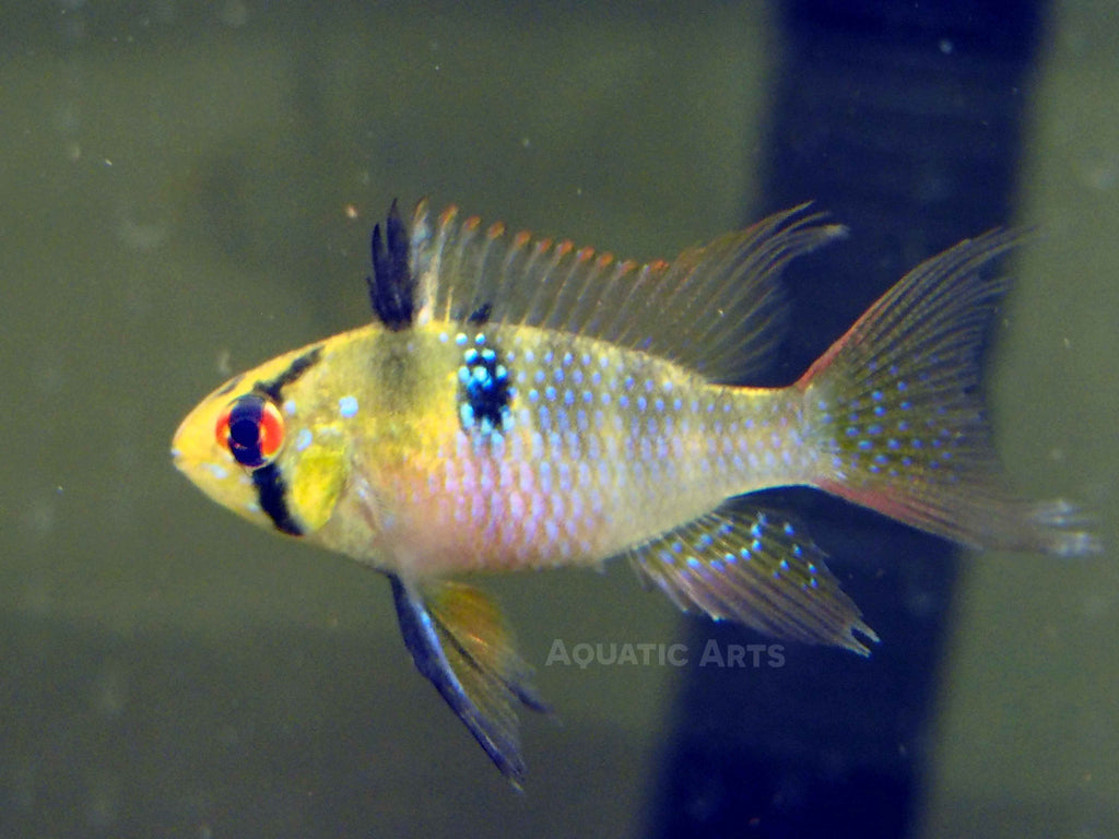 German Blue Ram Cichlid (Mikrogeophagus ramirezi) - Tank-Raised!