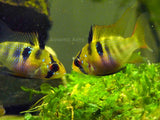 German Blue Ram Cichlids (Mikrogeophagus ramirezi) - 1 to 2 inches