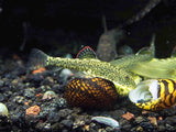 Chinese Hillstream Butterfly Loach (Beaufortia kweichowensis)