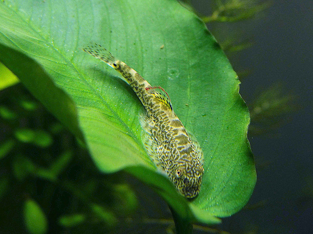 School of 3 Chinese Hillstream Loaches (Beaufortia kweichowensis) - 1 to 2 inches