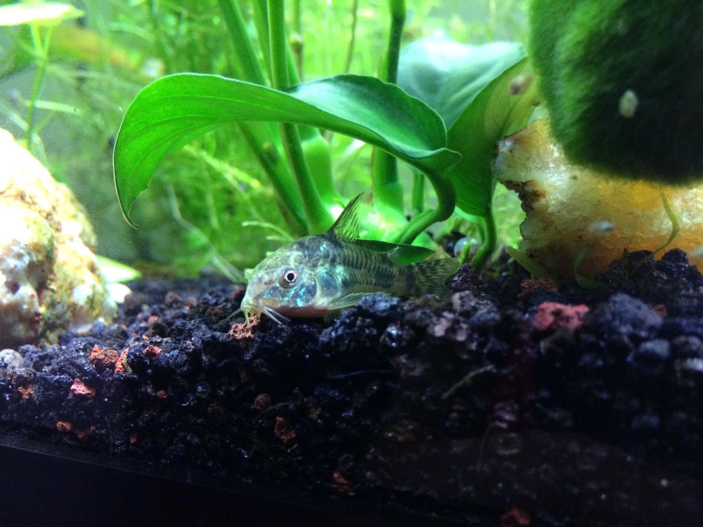 Peppered Cory Catfish (Corydoras paleatus)