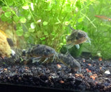 Peppered Cory Catfish (Corydoras paleatus) - 1 inch to 2 inch
