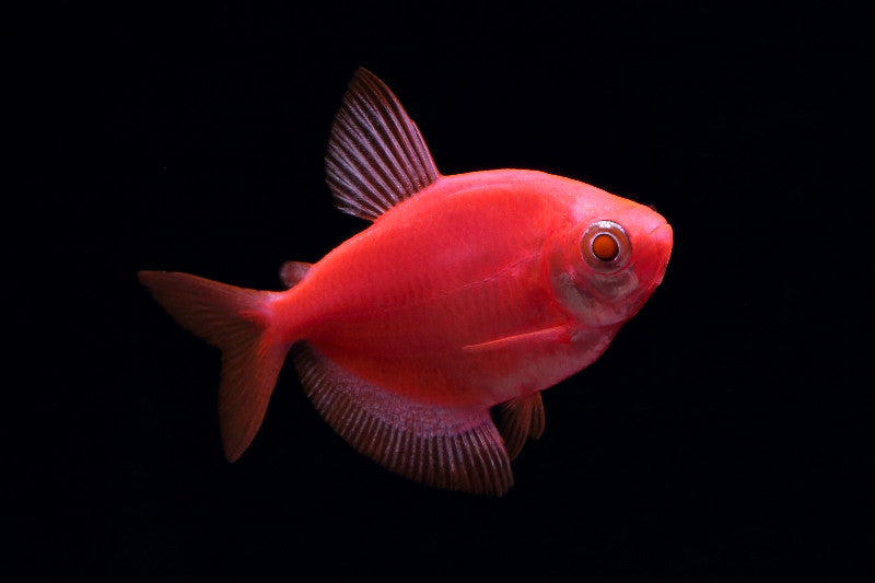 GloFish® Tetras (Not Dyed or Injected!)