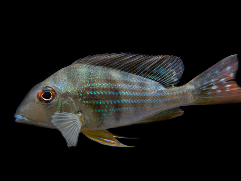 "Gold Face Electric Blue Ram Cichlid (Mikrogeophagus ramirezi ""Gold Face Electric Blue"") -  Tank-Bred!"