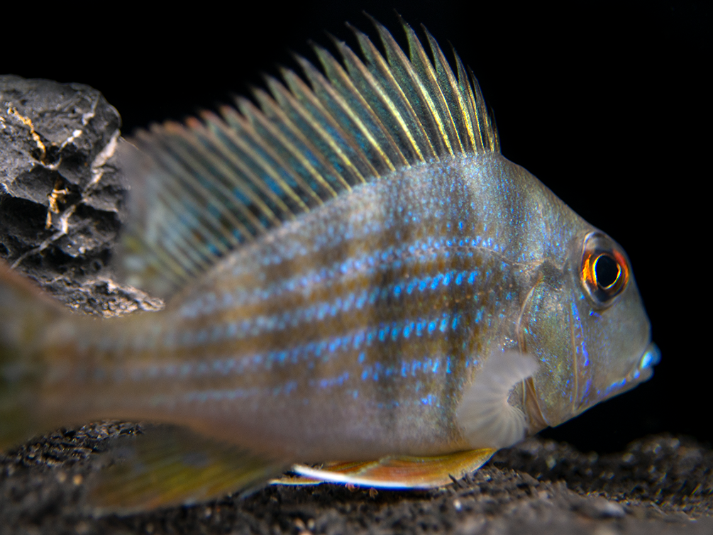 Red Striped Eartheater Cichlid (Geophagus surinamensis), Tank-Bred!