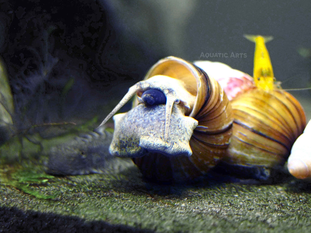 Japanese trapdoor snails aquatic arts for Snails in fish tank
