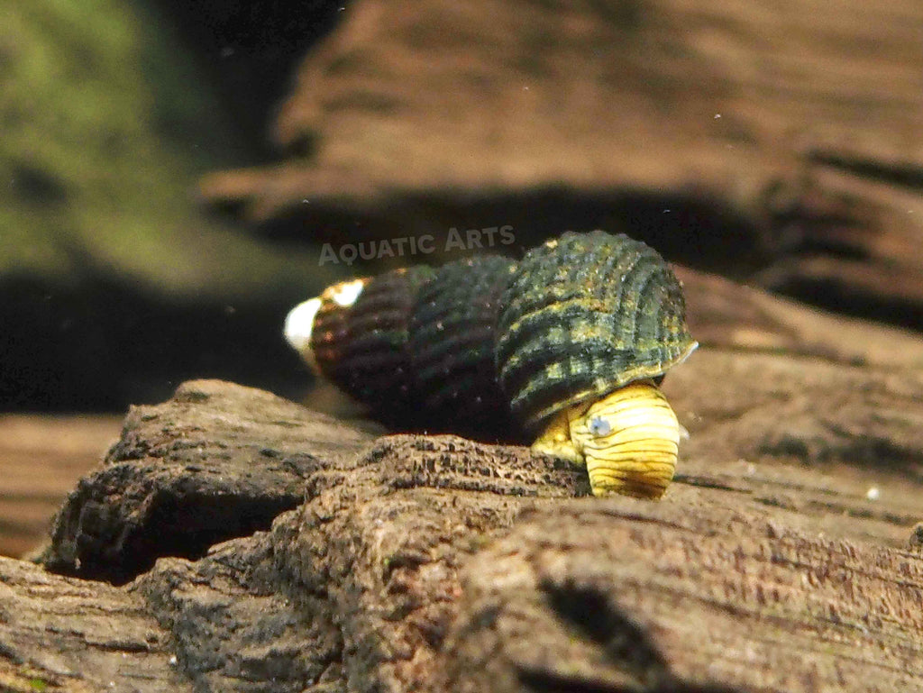 "5 Mini Golden Rabbit Snails (1/2"" to 1"")"