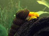 Orange Giant Sulawesi Rabbit Snail (Tylomelania sp.)