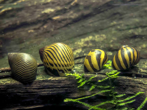 Yellow Spotted Giant Sulawesi Rabbit Snail (Tylomelania sp.)