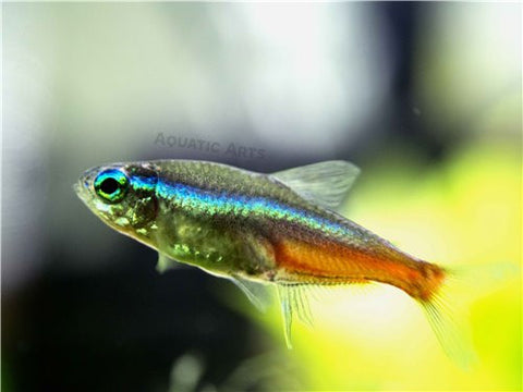 Clown Killifish (Epiplatys annulatus), TANK-RAISED!