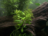 Mermaid Weed (Proserpinaca palustris) - 2 Bunches