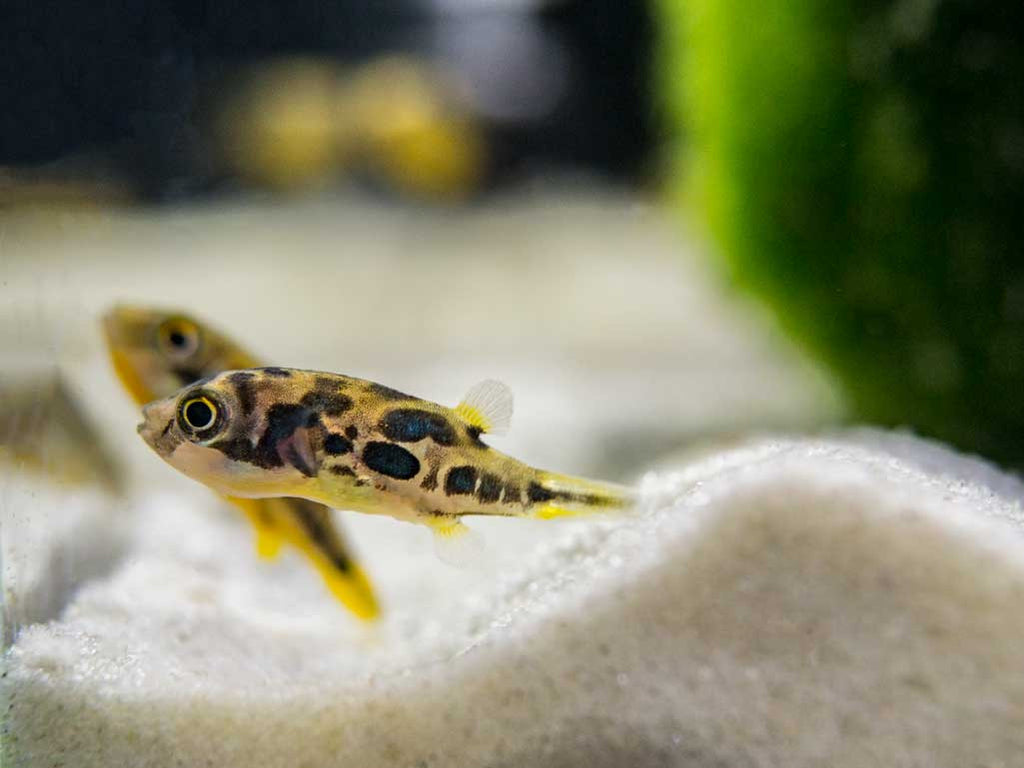 Indian Dwarf Pea Puffers (Carinotetraodon travancoricus) - .5 to 1 Inch