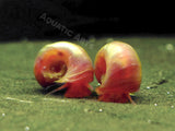 Bright Red Ramshorn Snails (1/4