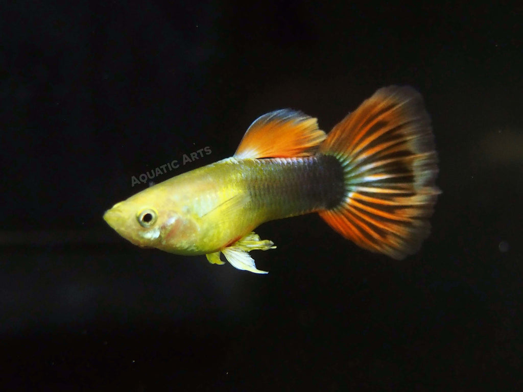 Sunray Guppy AKA Tequila Sunrise Guppy, Male (Poecilia reticulata), TANK-RAISED!