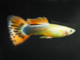 Male Sunray Guppies (2 to 3 inches)