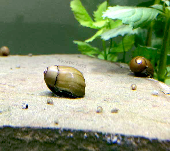 Tiger Eye Nerite Snails (Vittina usnea)