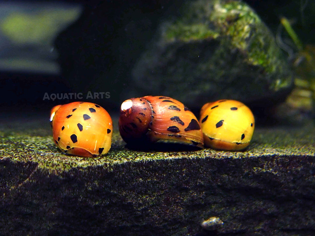 "Tiger Nerite Snails (Neritina semiconica) - 1/2"" to 1"""