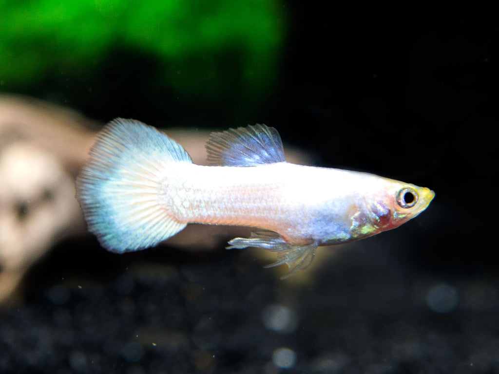 White Moscow Guppies (Poecilia reticulata) - Tank-Raised Males