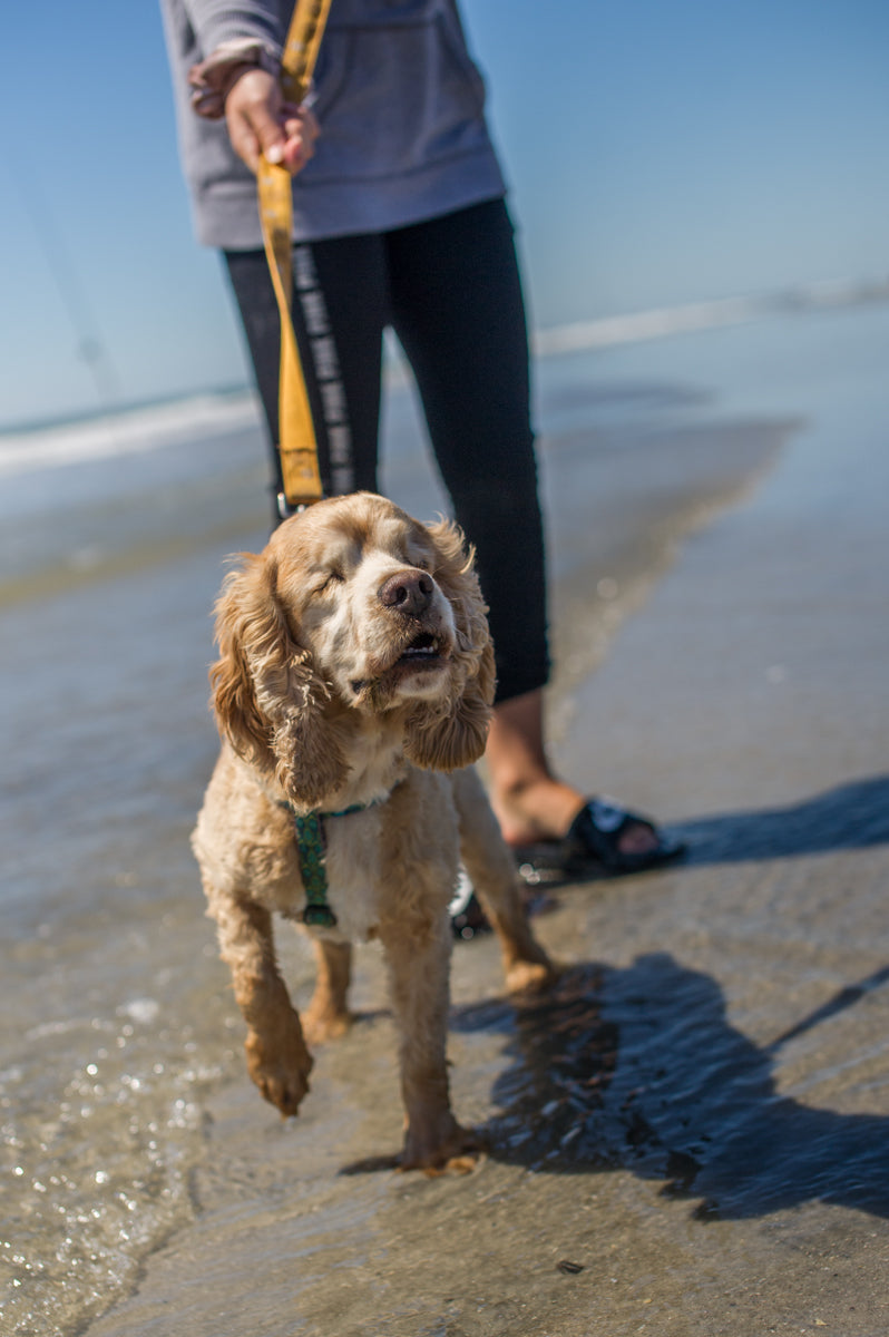 A blind cocker spaniel is led along the sandy beach on a leash by its owner