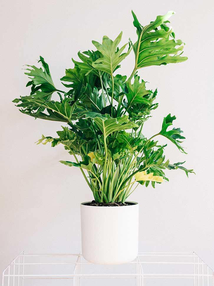 "8"" Hope Philodendron - Mikells Florist"