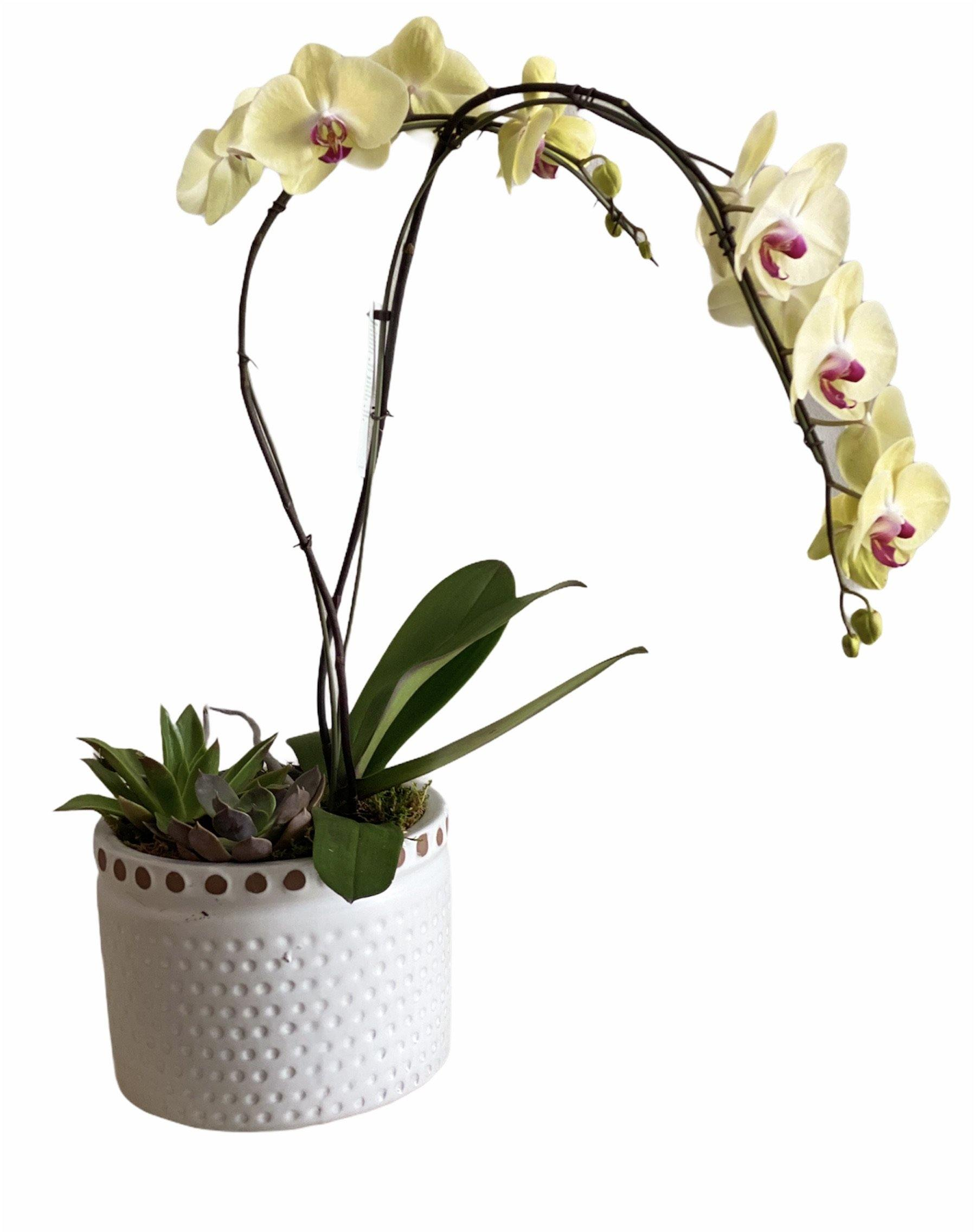 Lavish Beauty Potted Orchid
