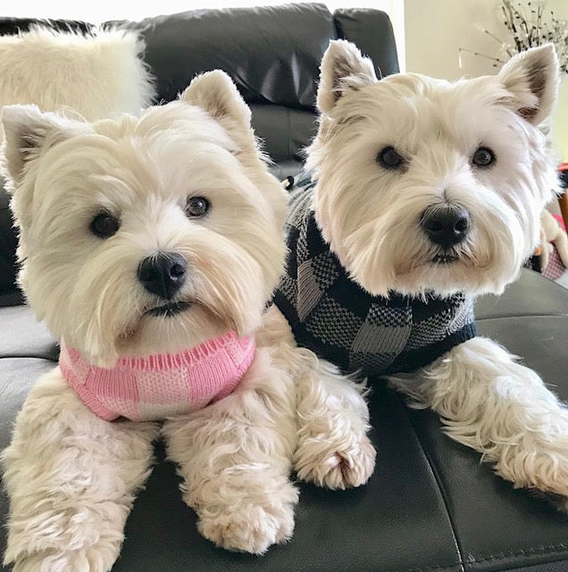 Coco & Pud Boston Dog Sweater on westies