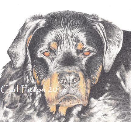 Rotweiler portrait commission