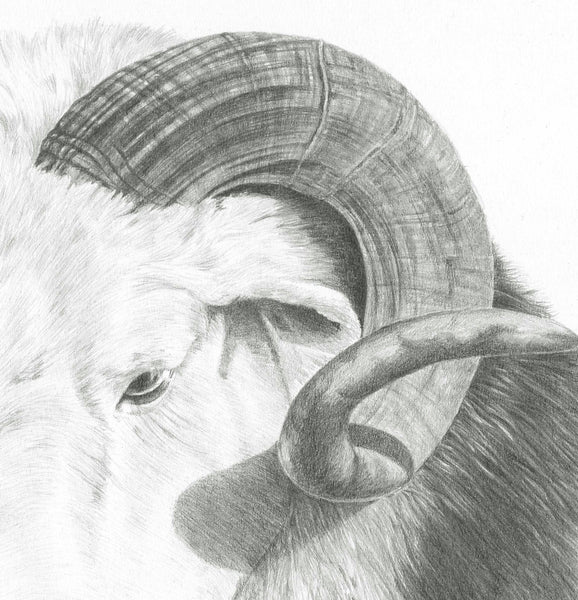 Herdwick Sheep 'Rambo' - Limited Edition Giclee Print