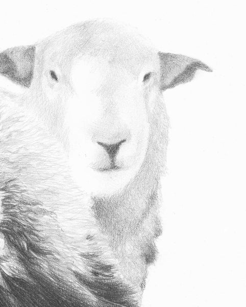 Herdwick Sheep  'Top n Tail'- Limited Edition Giclee Print