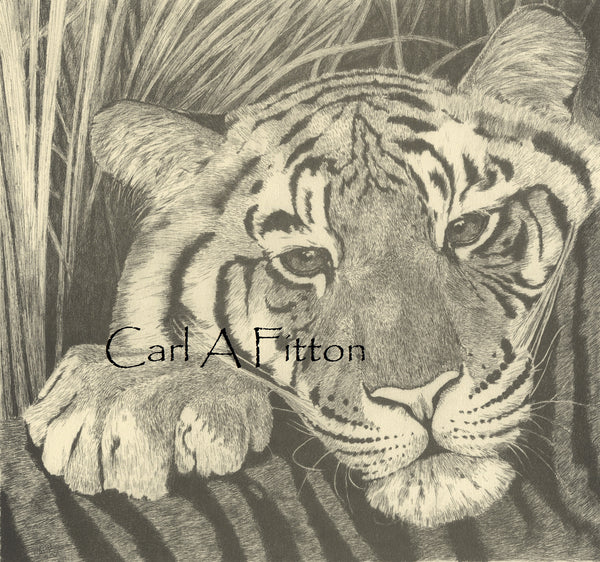 Tiger Cub 'Stripe' - Limited Edition Print