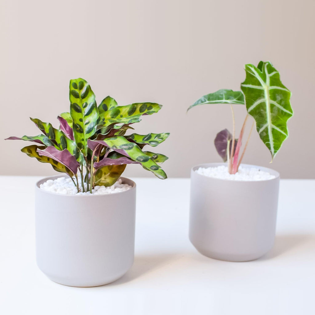 Alocasia & Prayer Plant Duo