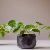 Trio of Pilea Plants