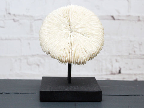 A Vintage Mounted Sea Mushroom Coral from a Private Collection