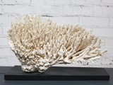 A Vintage Piece of Mounted Coral from a Private English Collection