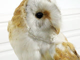 Antique White Antique Taxidermy Owl