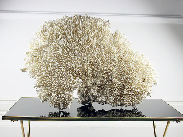 Extra Large Fan Shaped Piece of White Coral from a Private Collection