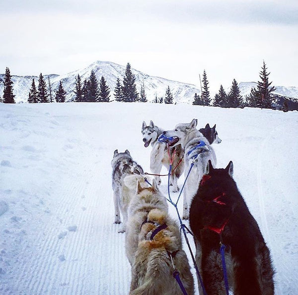Working Dog Wednesday- Sled Dogs!