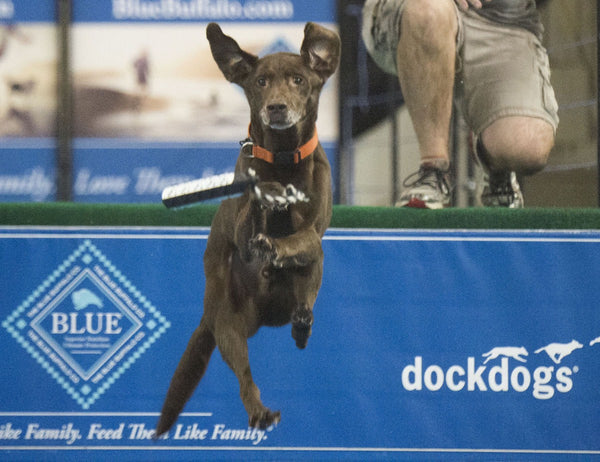 Working Dog Wednesday- Team Trifecta Dock Dogs!