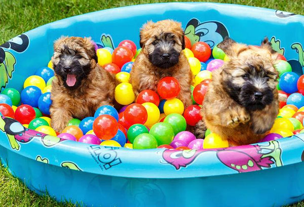 three smiley puppies playing in ball pit